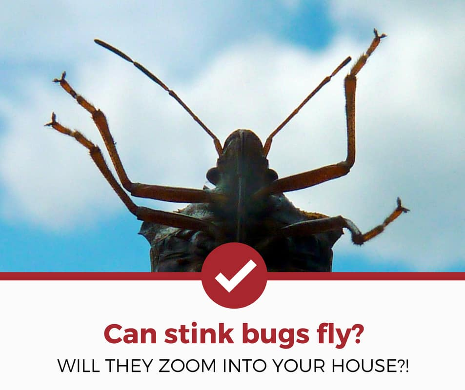 can stink bugs fly