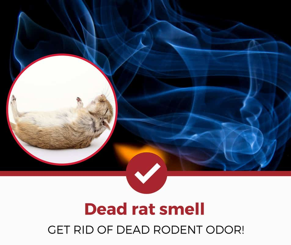 how to get rid of the dead rat smell?
