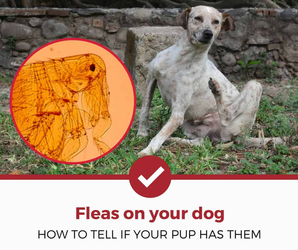 how do you tell if your dog has fleas?