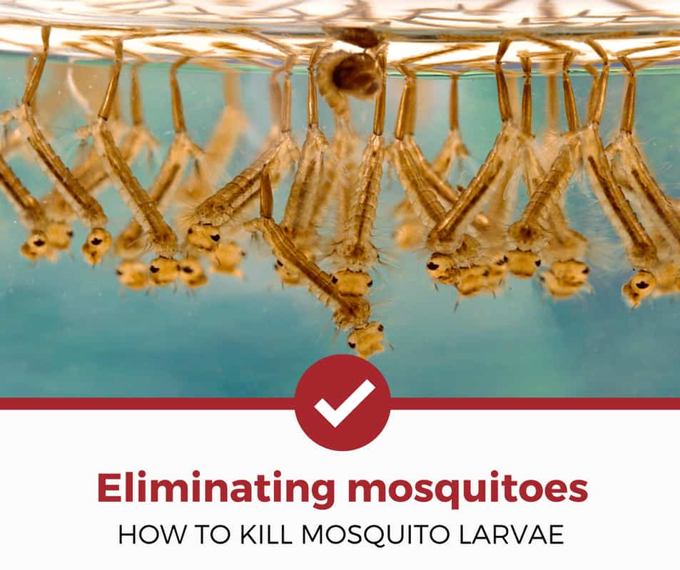 how to kill mosquito larvae around your home?