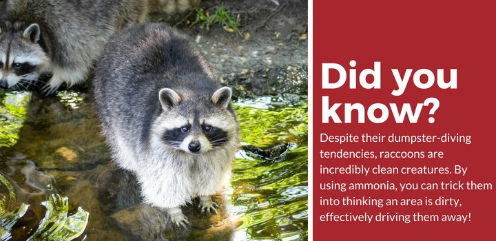 get rid of raccoons with ammonia
