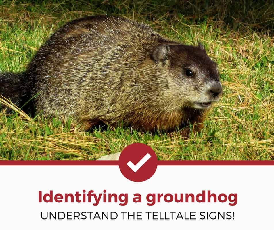 how to identify a groundhog?