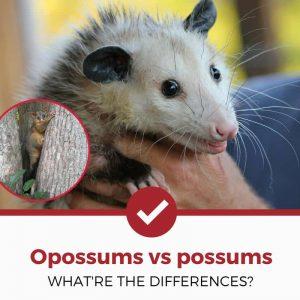 opossum vs possum differences