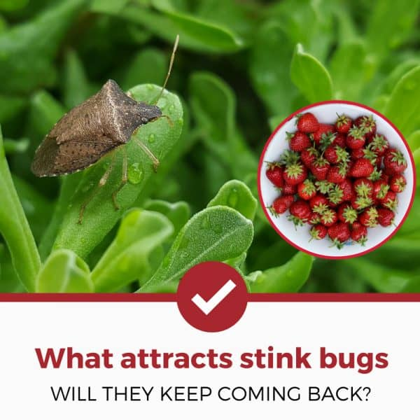 what attracts stink bugs