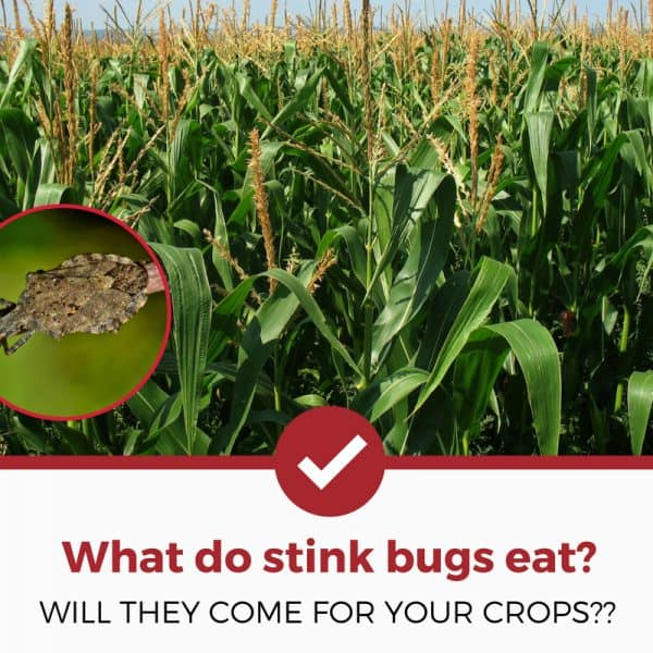what do stink bugs eat