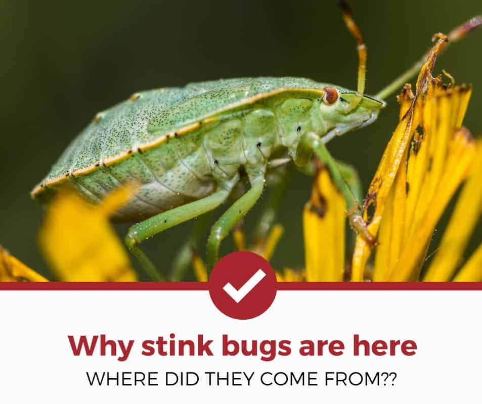 where do stink bugs come from