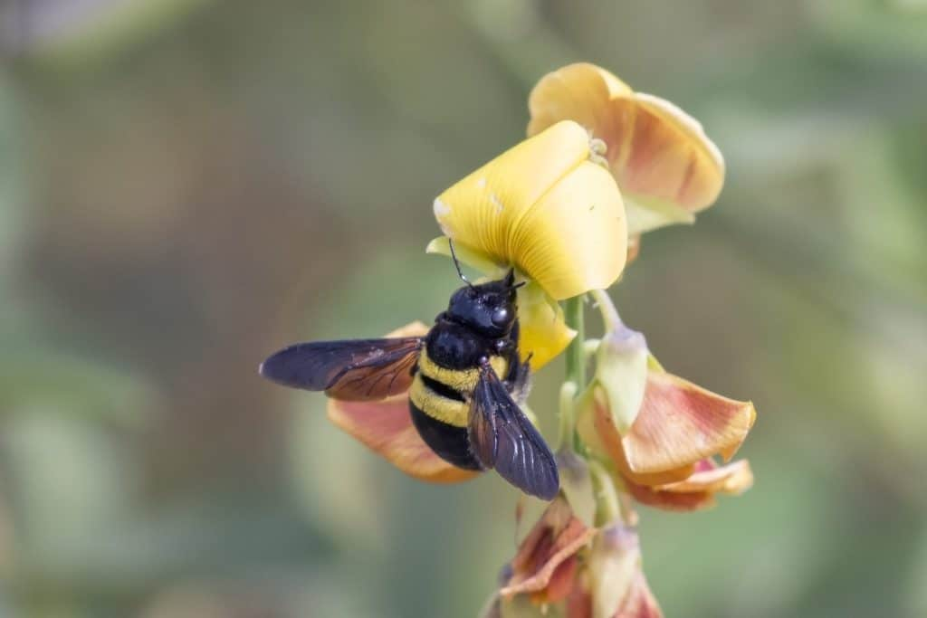 carpenter bee image