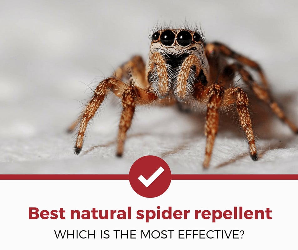 best natural spider repellent