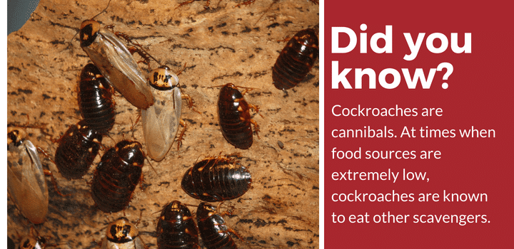 cockroaches are cannibals