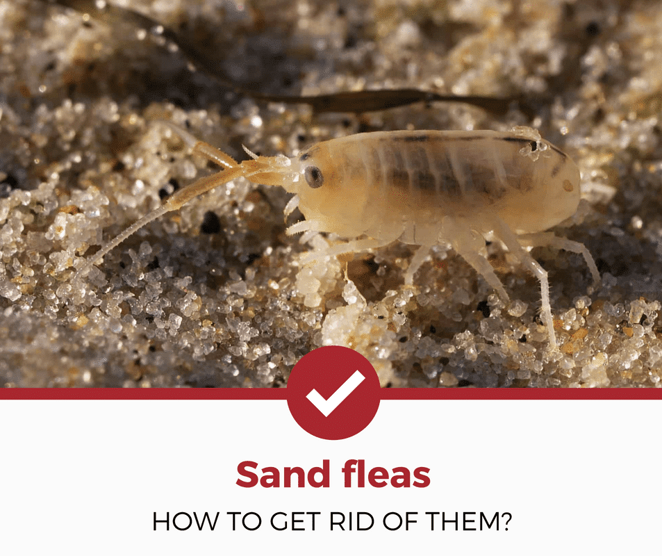how to get rid of sand fleas