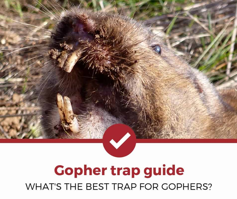 best gopher trap