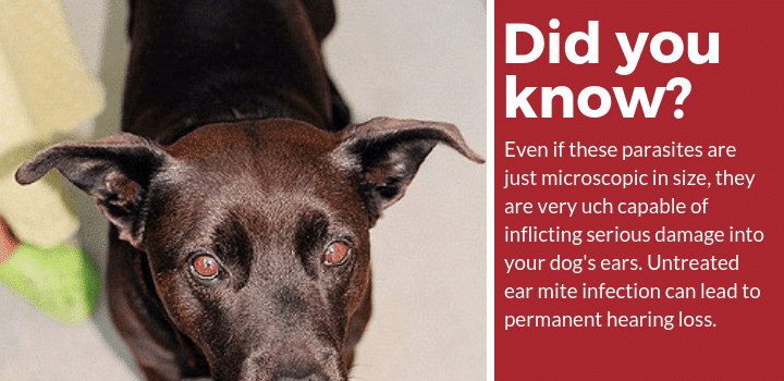 ear mite medicine for dogs did you know