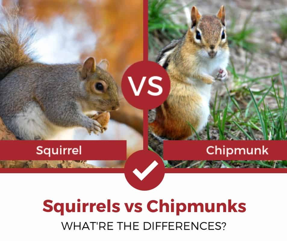 squirrels vs chipmunks