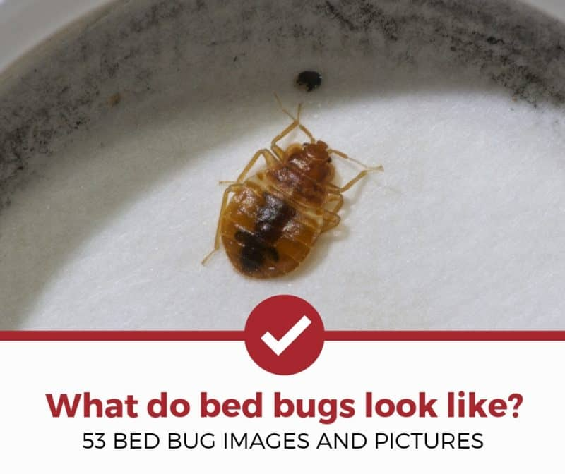 What Do Bed Bugs Look Like 53 Pictures Of Bed Bugs Pest