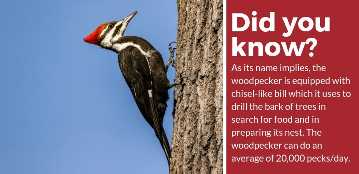 woodpecker bill fact