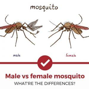 Male vs female mosquito differences