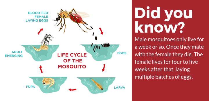 mosquito life cycle facts