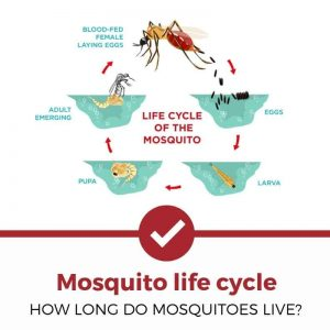 mosquito life cycle how long do they live