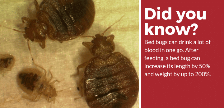 does tea tree oil kill bed bugs facts