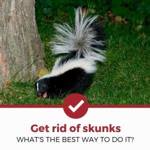 Get rid of skunks