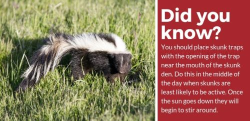 how to use skunk traps