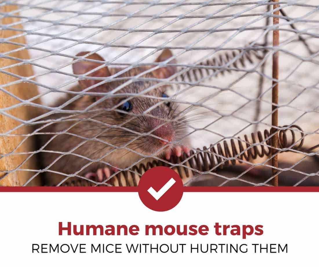 Best Humane Mouse Traps
