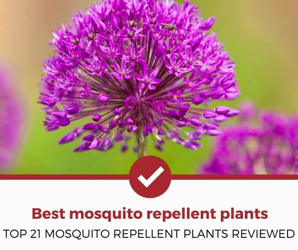 Best Mosquito Repellent Plants