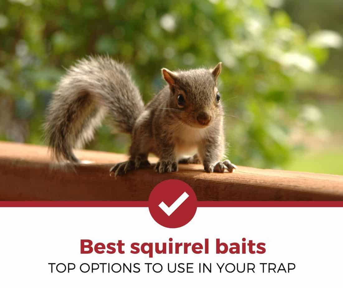 Best Squirrel Baits
