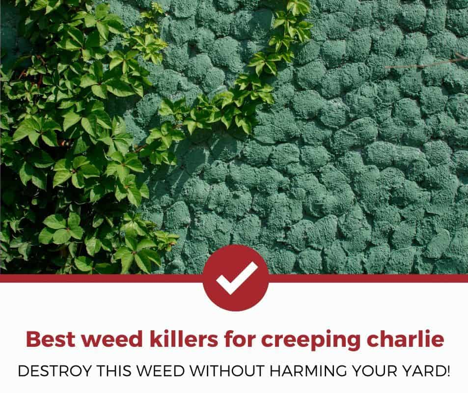 Best weed killer for creeping charlie