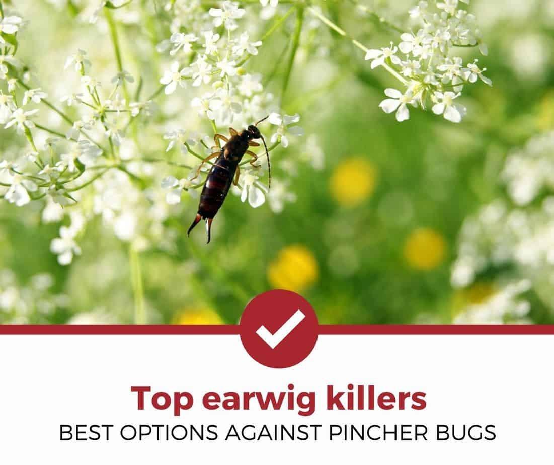 Best earwig killer