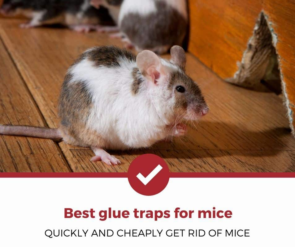 Best glue traps for mice