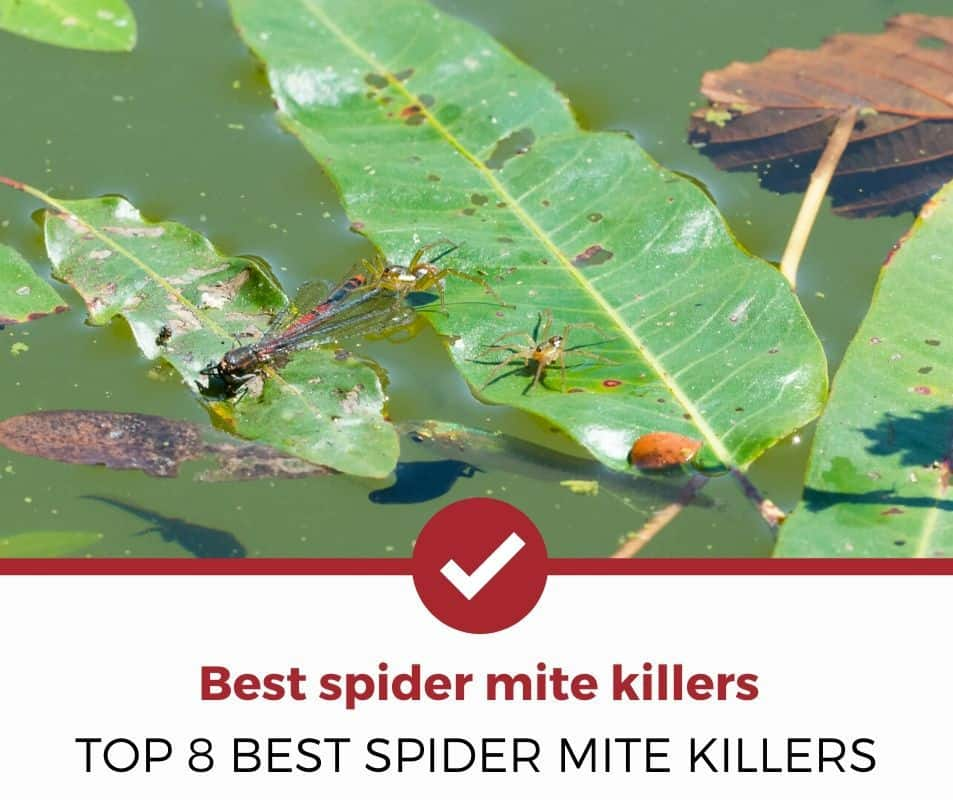Best spider mite killers
