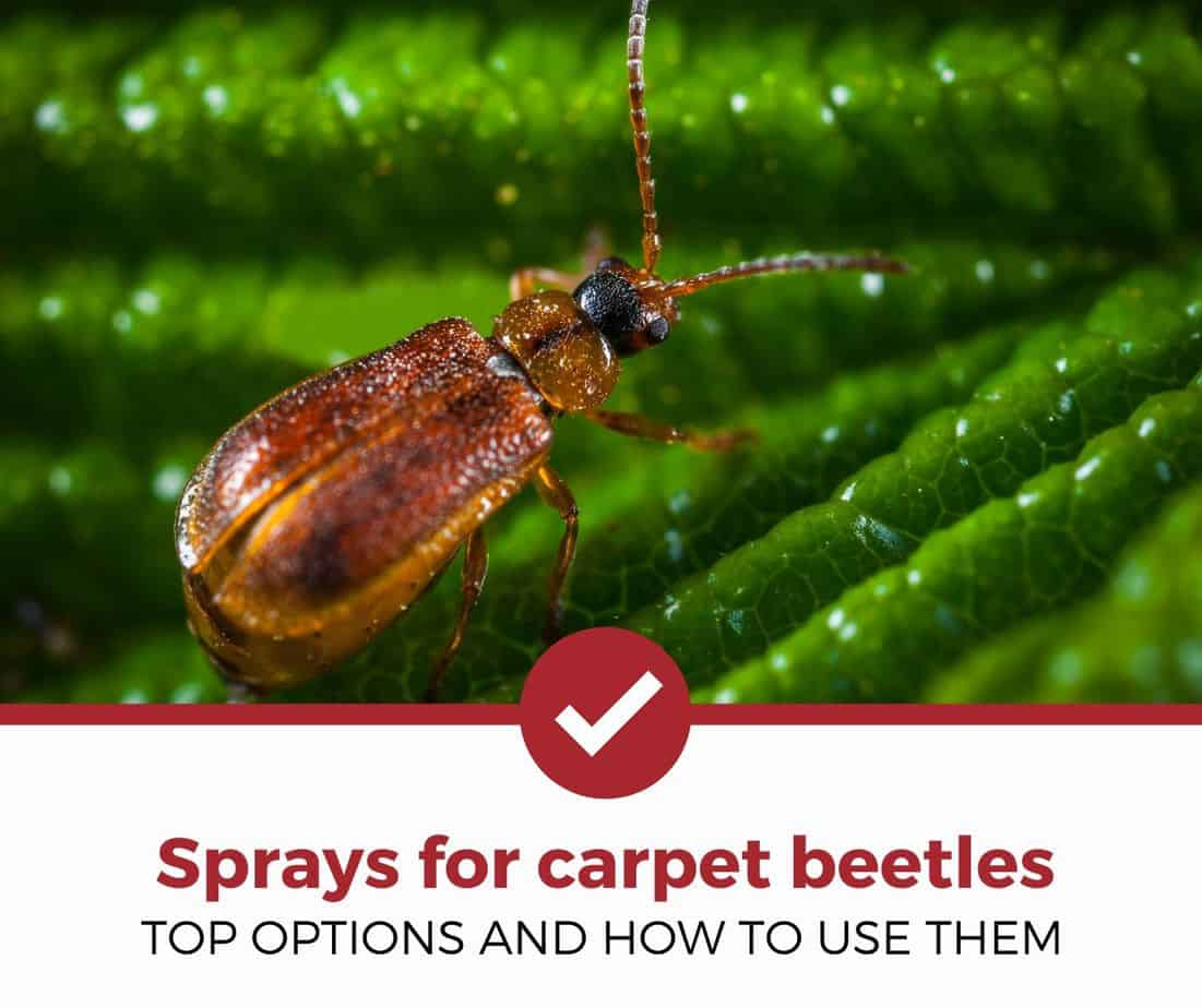 Best sprays for carpet beetles