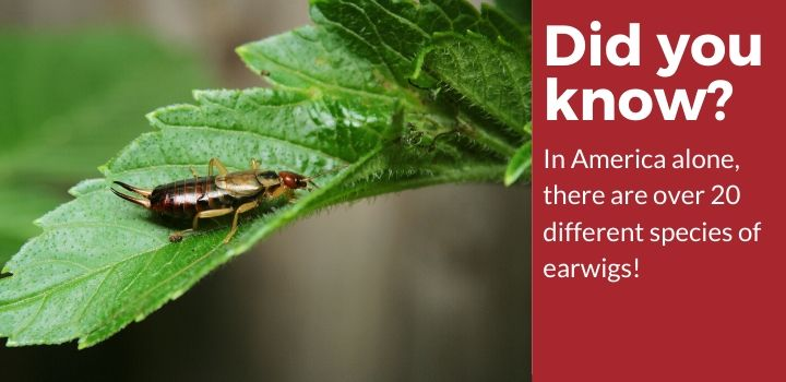There are over 20 different species of earwigs
