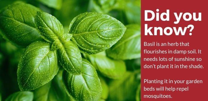 Basil Plants Mosquito Repellent