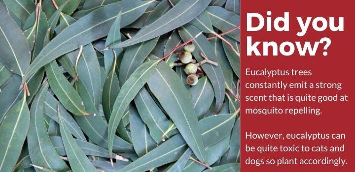 Eucalyptus Plants Mosquito Repellent