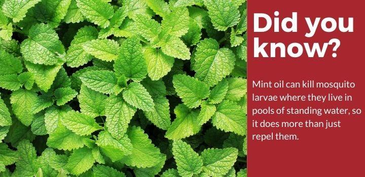Mint Plants Mosquito Repellent