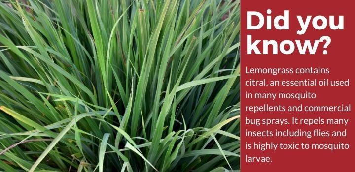 Lemongrass Plants Mosquito Repellent