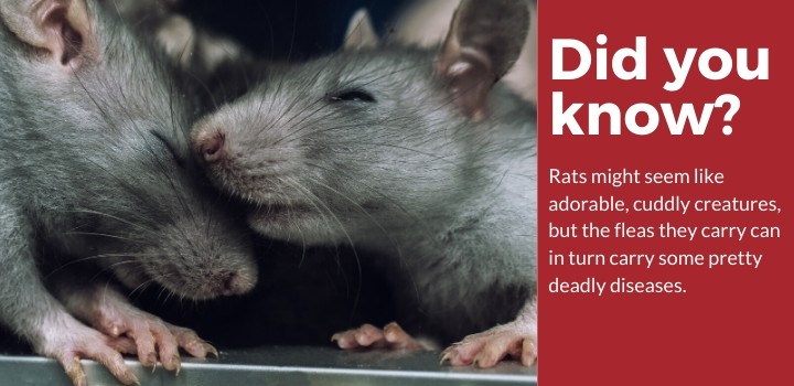 Did You Know Rats Carry Diseases?