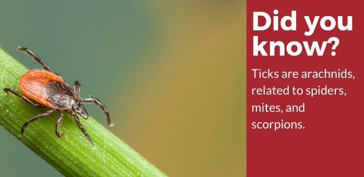 Ticks are related to spiders!