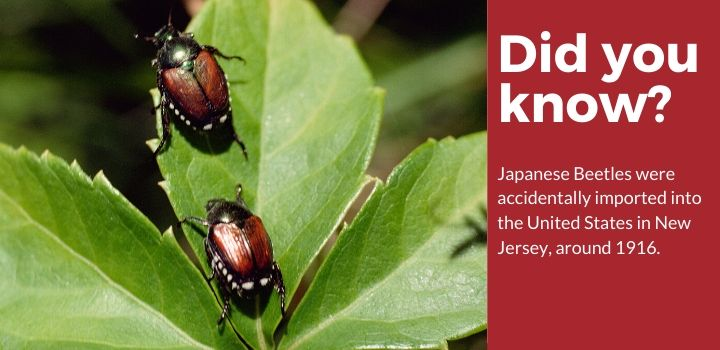 Did you Know Japanese Beetles were imported in 1916?