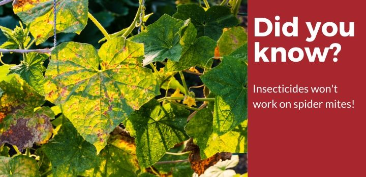 Did you know insecticides won't work on spider mites