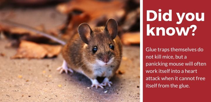 Glue Traps for Mice - Reviews