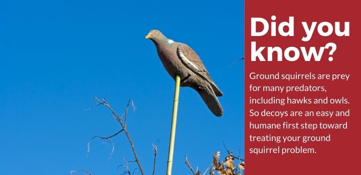 Try a decoy for your ground squirrel problem