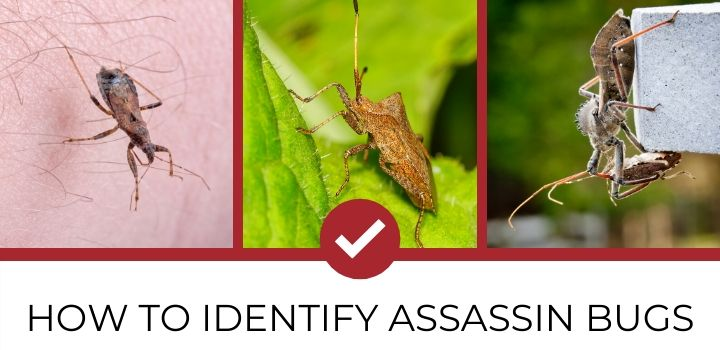 Identifying Assassin Bugs