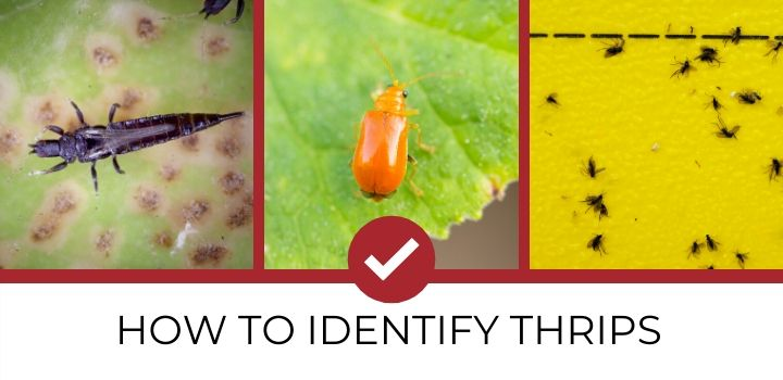 Three images to identify thrips