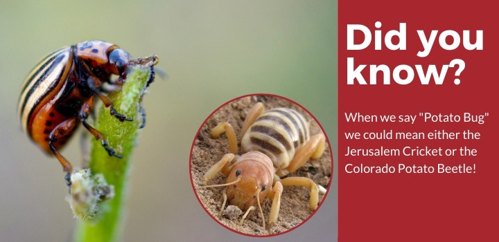 Jerusalem Cricket vs Colorado Potato Beetle