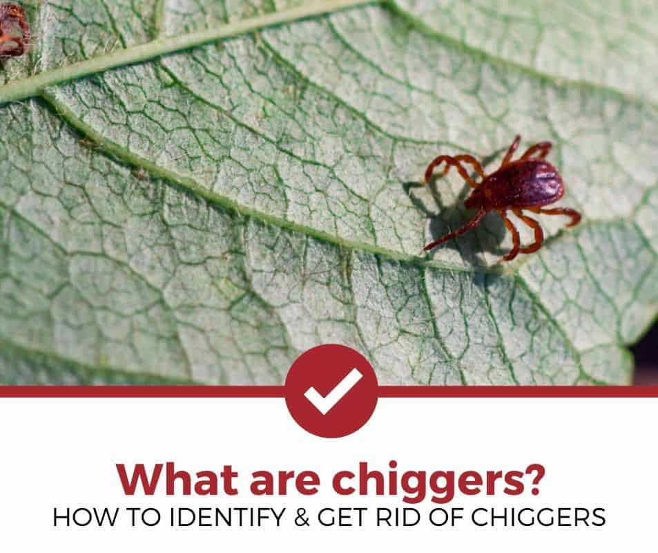 how to identify and get rid of chiggers