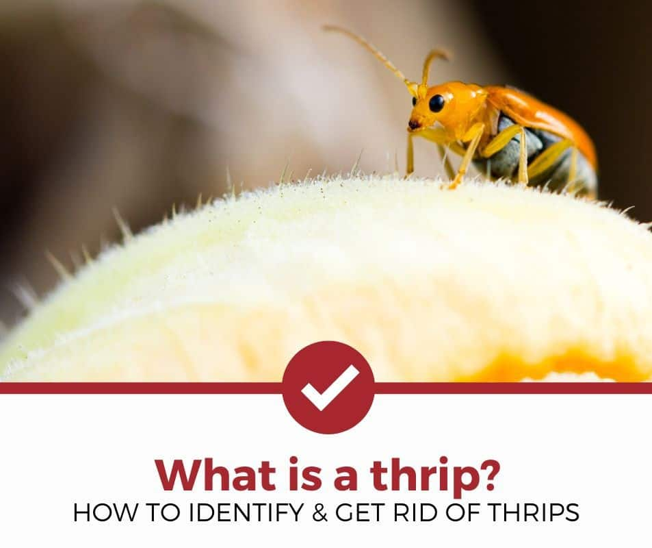 How to identify and get rid of thrips