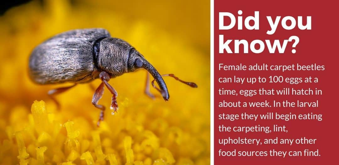 did you know carpet beetle spray